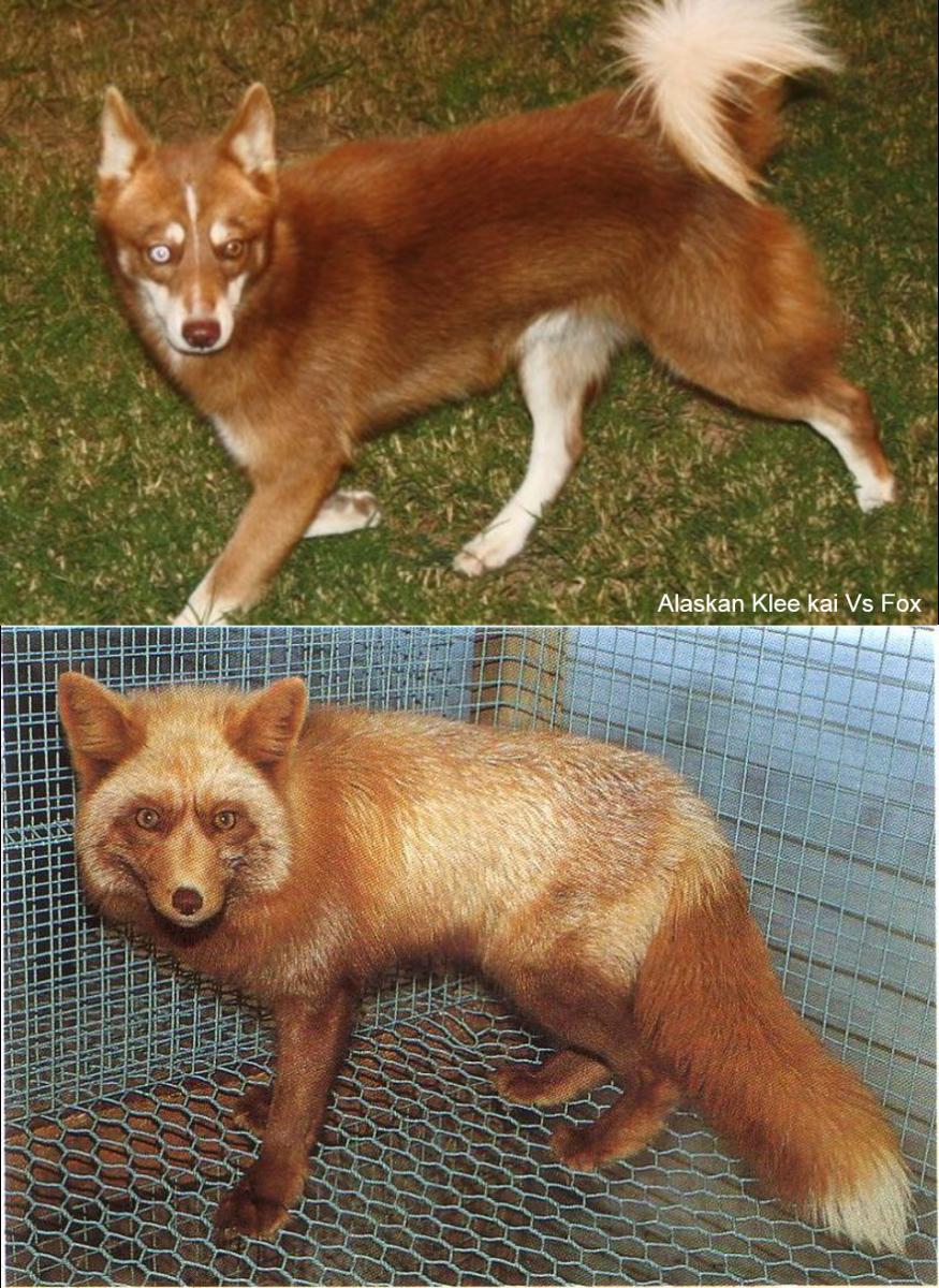 Red Alaskan Klee Kai vs. Fox: Red Alaskan Klee Kai above and a fox below.