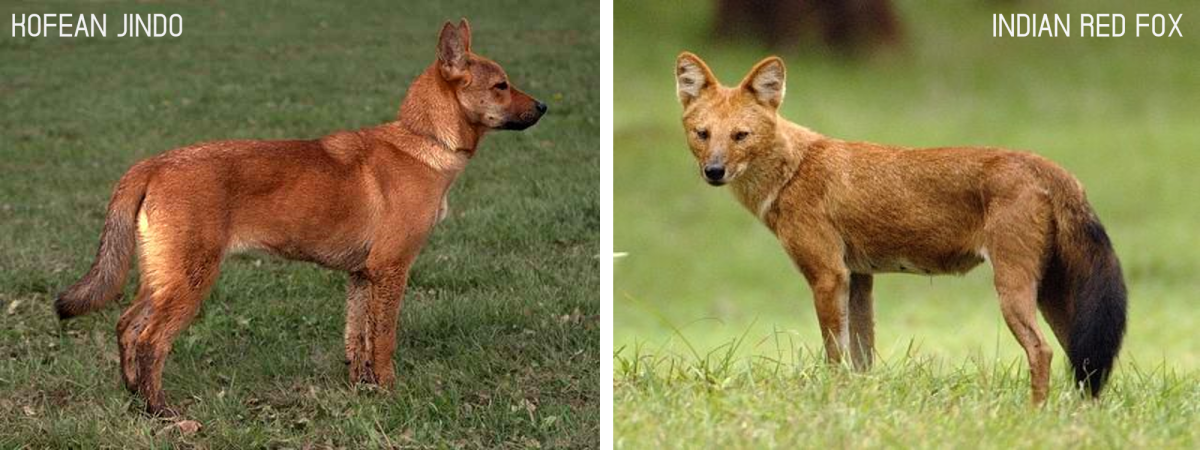 A Jindo dog on the left and a fox on the right.
