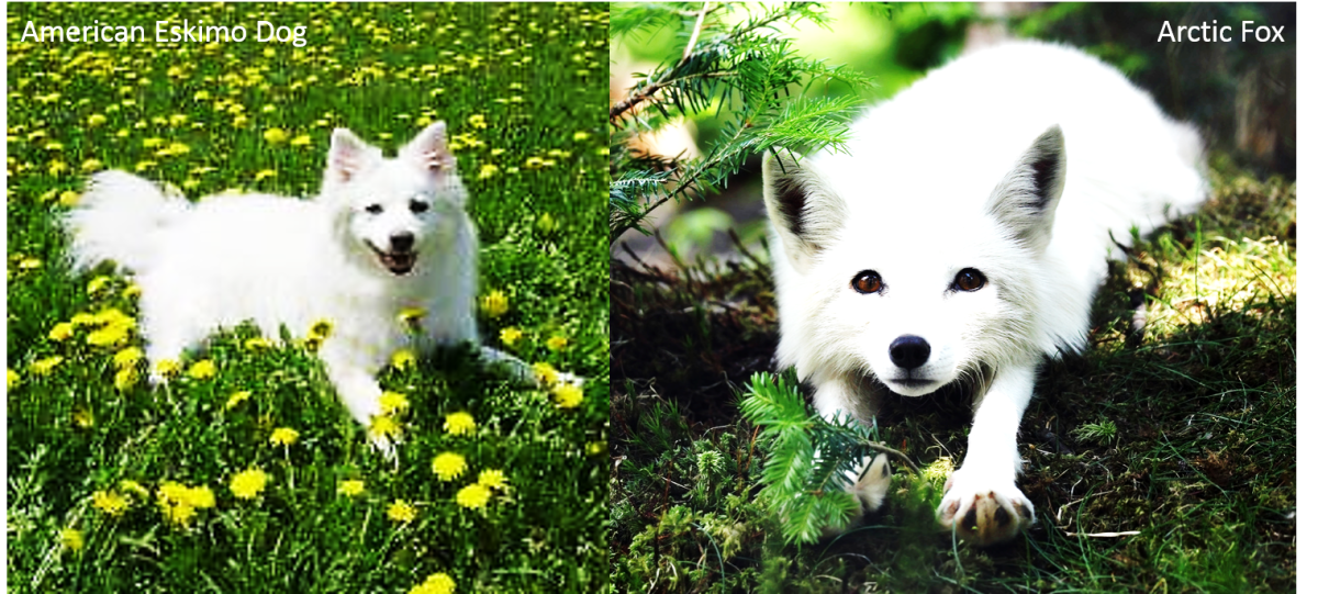 An American Eskimo Dog on the left and an Arctic Fox on the right.