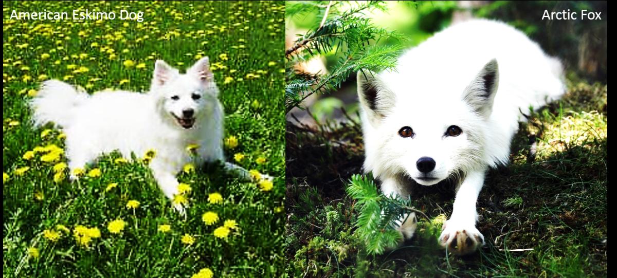 American Eskimo Dog vs. Arctic Fox: An American Eskimo Dog on the left and an Arctic Fox on the right.