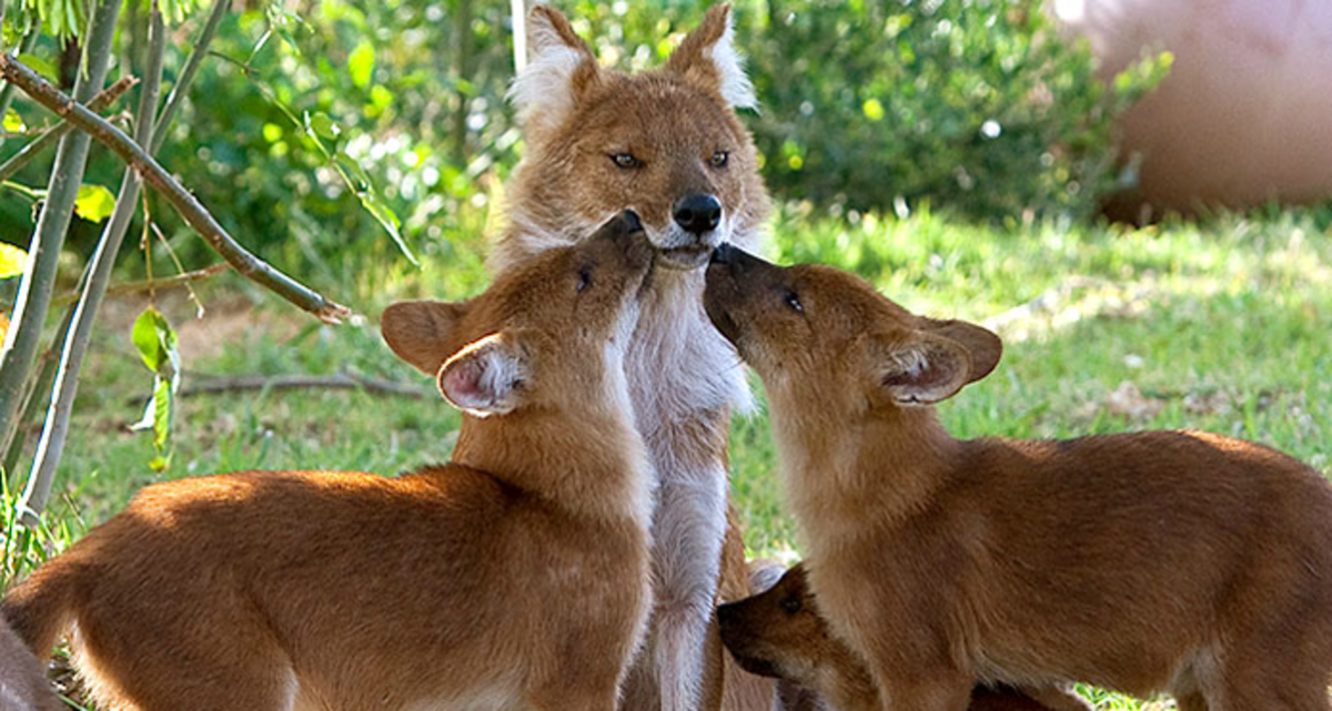 A Dhole, or Indian wild dog or Asiatic Wild Dog, at the San Diego Zoo.