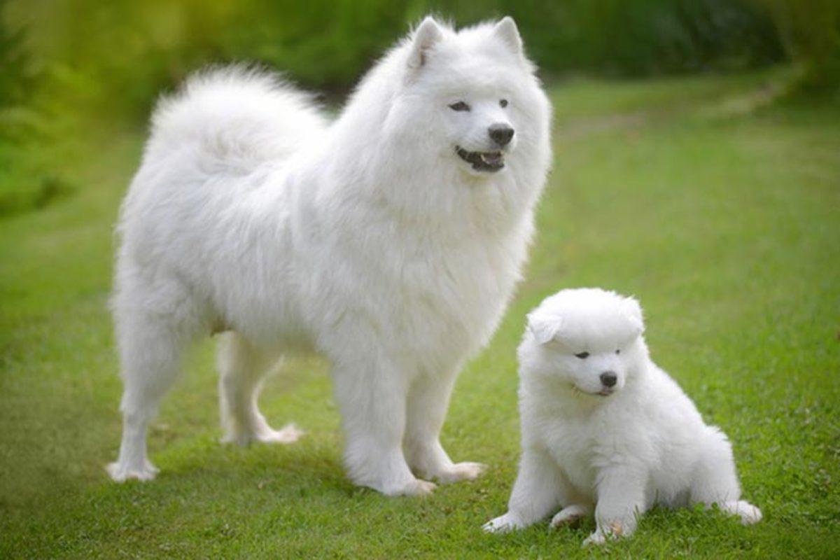 An American Eskimo Dog.