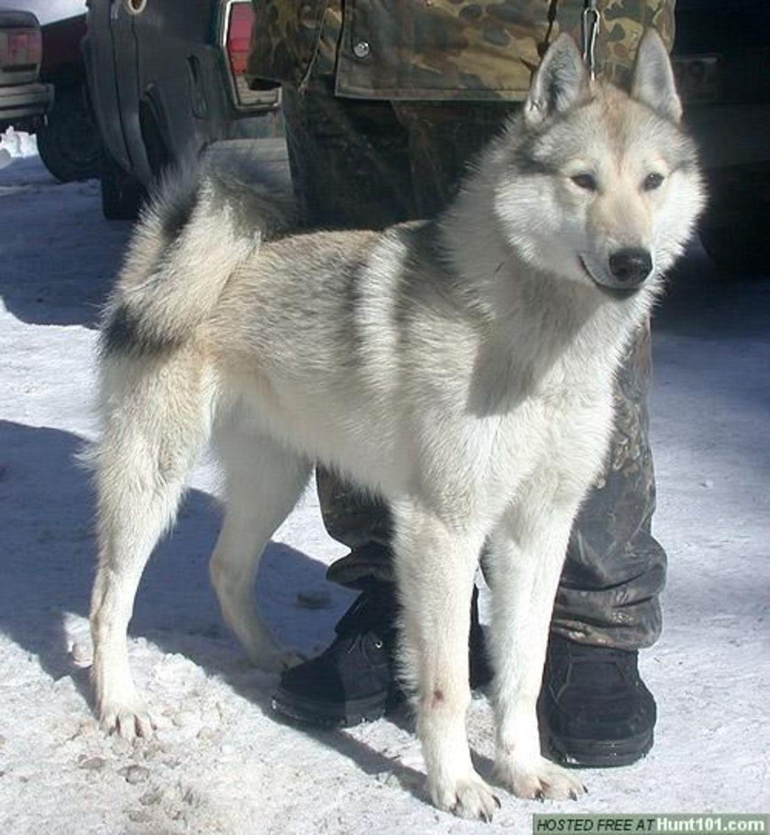 A Khugsa Dog.