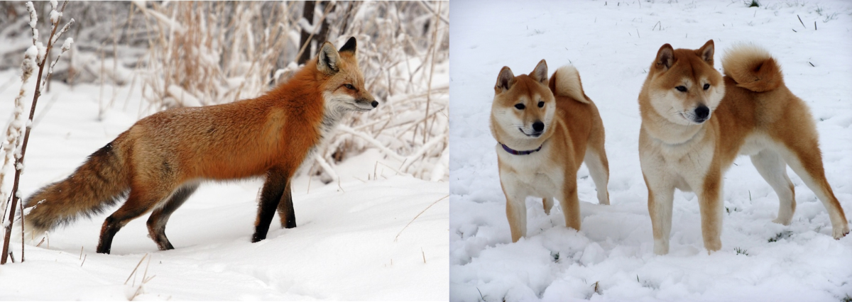 Fox vs. Shiba Inu: A fox on the left and Shiba Inu pair on the right.