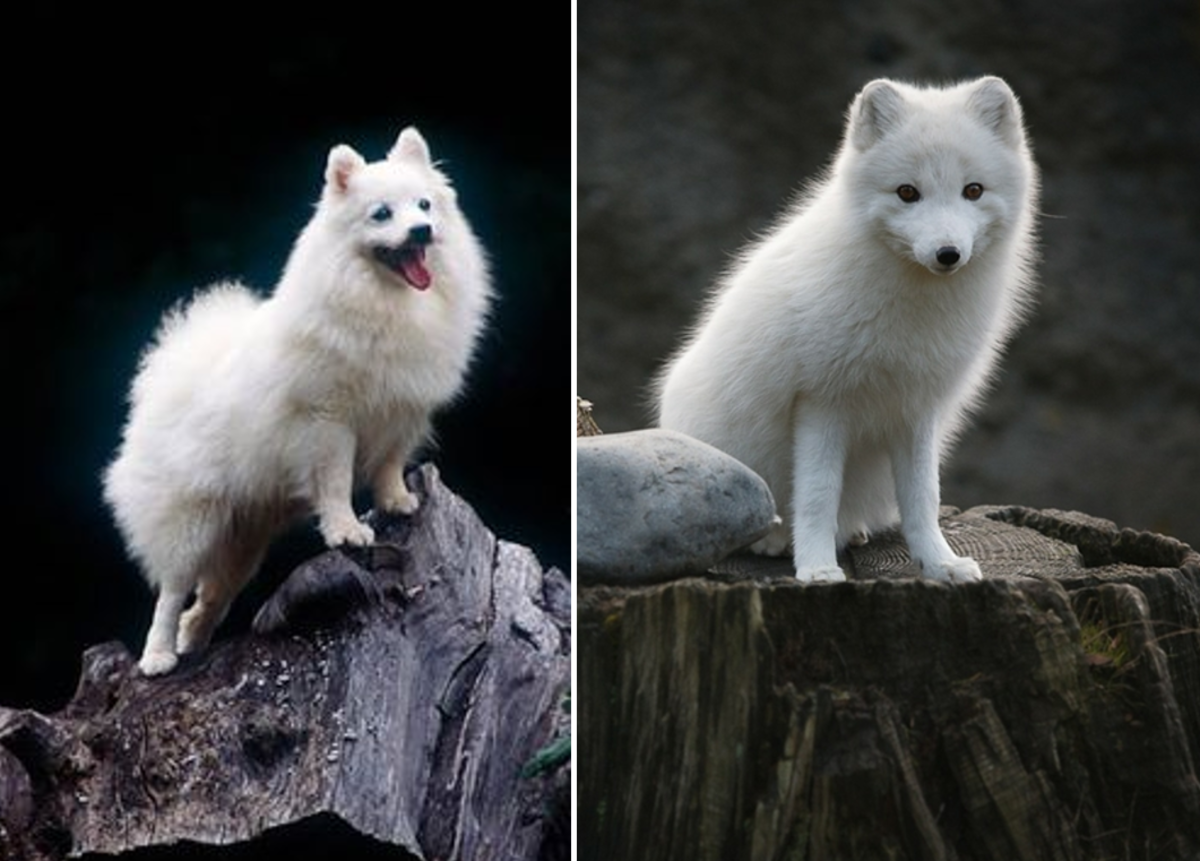 A Volpino Italiano on the left and an Arctic Fox on the right.