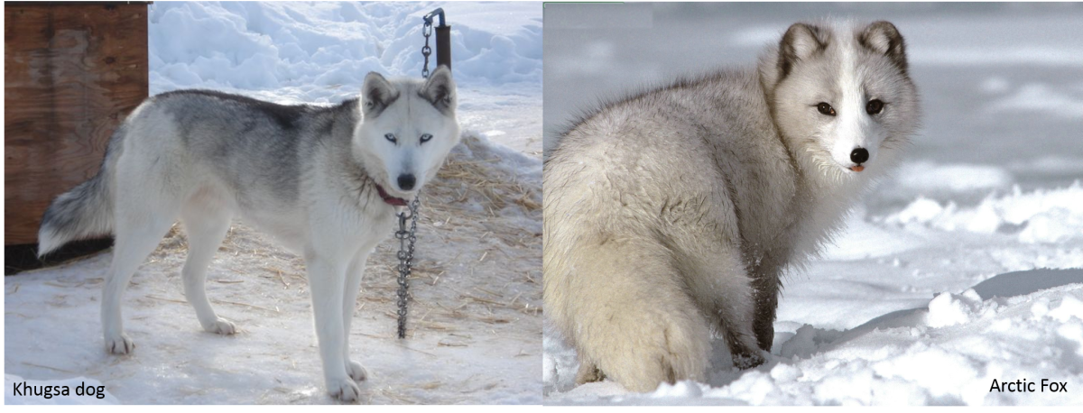 A Khugsa Dog on the left and an Arctic Fox on the right.