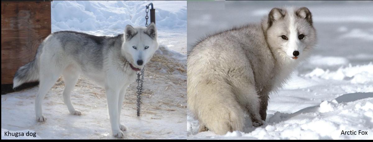 Khugsa Dog vs. Arctic Fox: Khugsa Dog on the left and an Arctic Fox on the right.