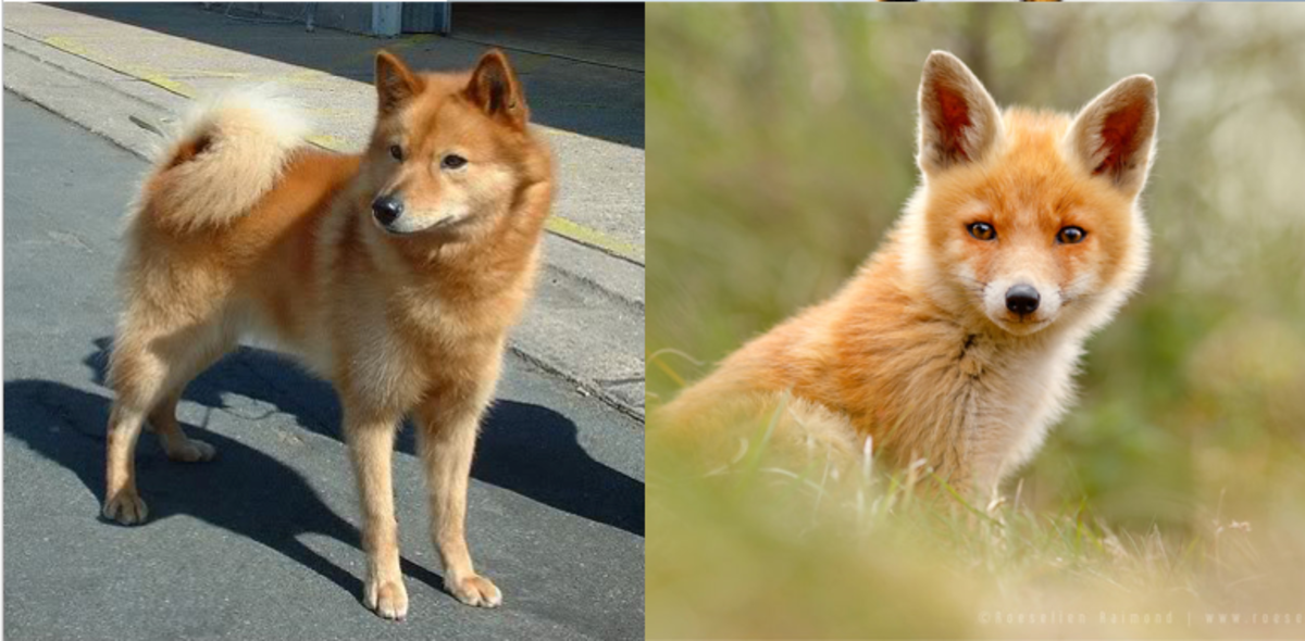 An Indian Spitz on the left and a fox on the right.