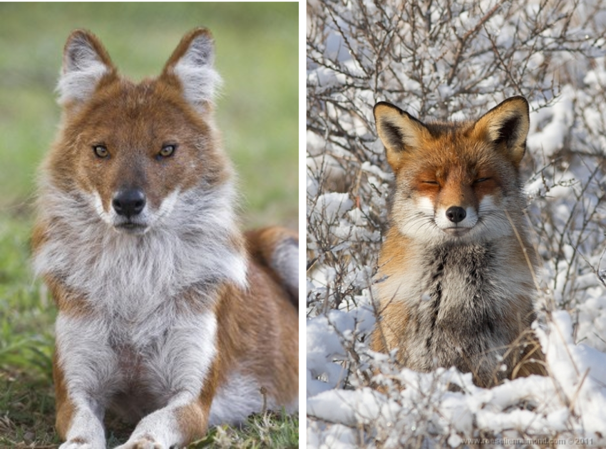 Dhole Vs. Fox.