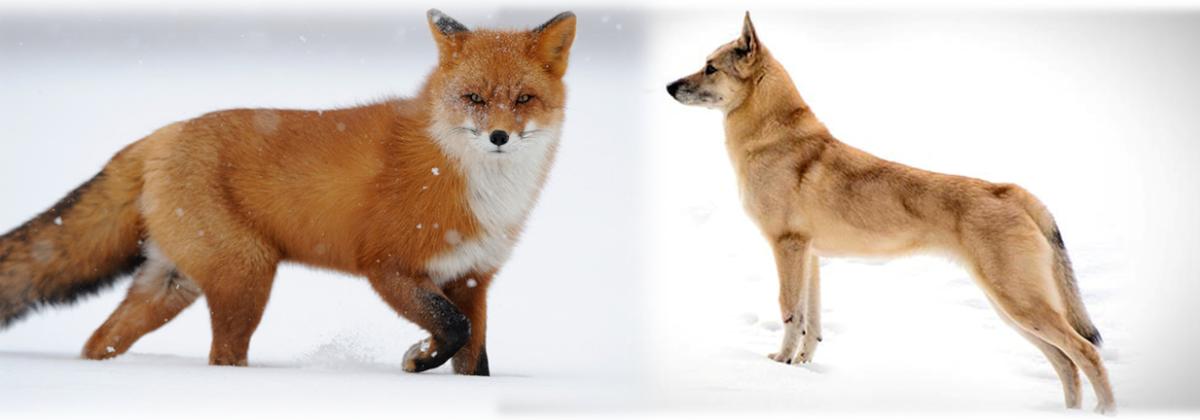 Fox (L) vs. Finnish Spitz (R)