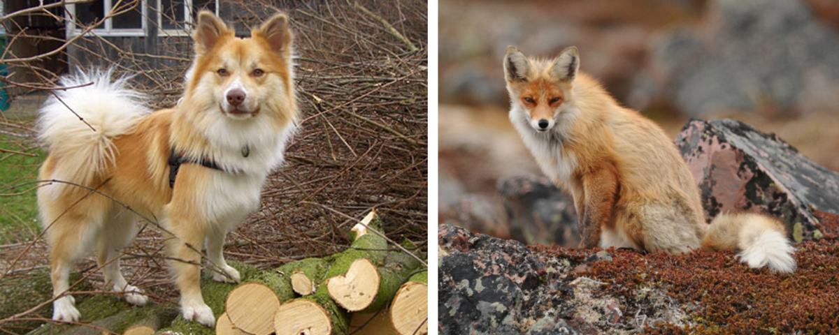An Icekandic Sheepdog on the left and a fox on the right.