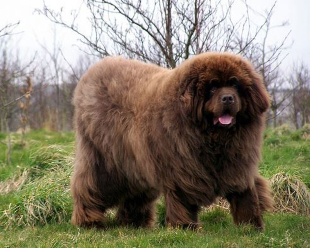 Most Expensive Dog Breeds In India