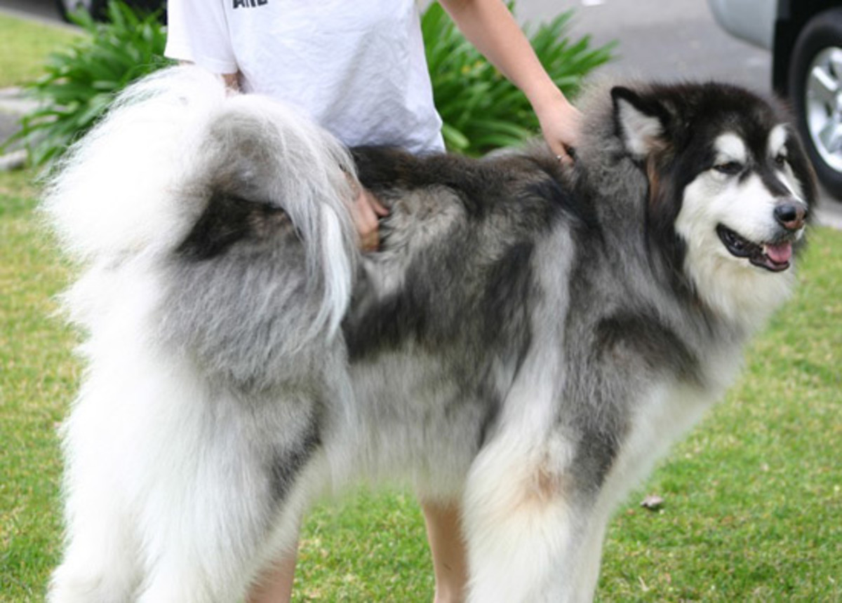 Top 10 Most Expensive Dog Breeds In India Pethelpful