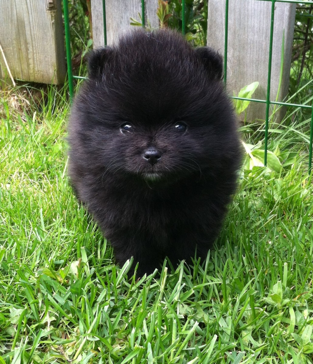 """""""Nosti"""" makes a charming name for the black Pomeranian  puppy."""