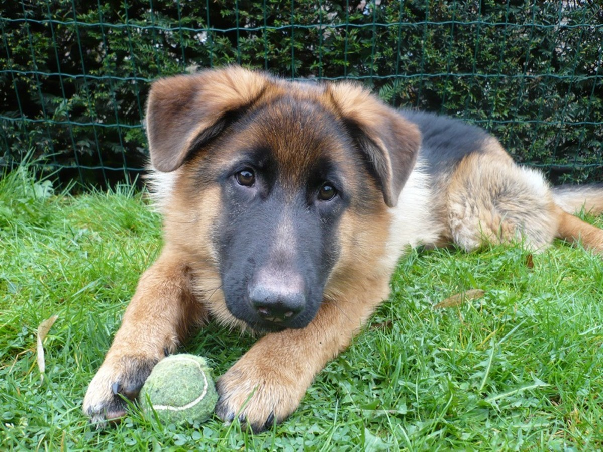 german-shepherd-breed-characteristics