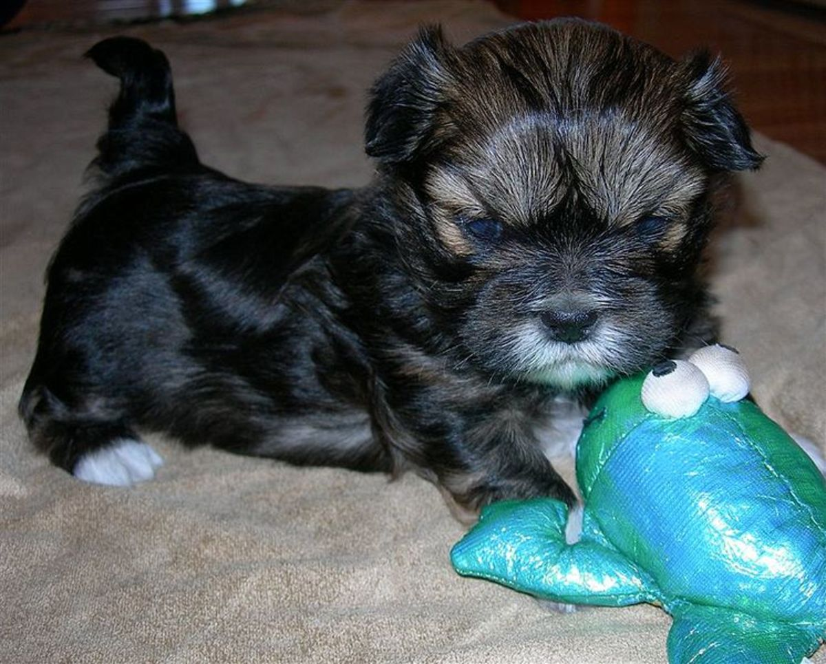 This Lhasa pup is very protective of her toy.