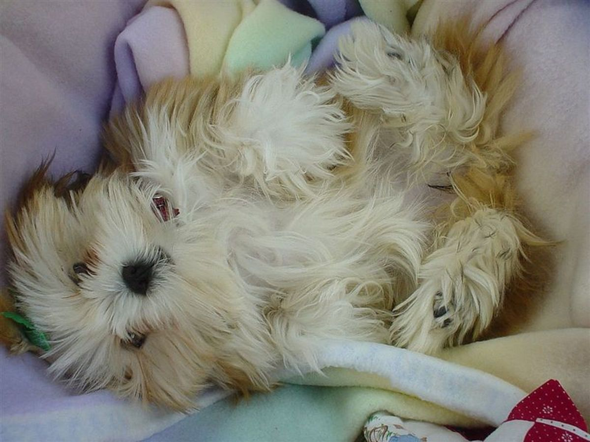 This Apso is a little too comfy for guard-dog duty.,