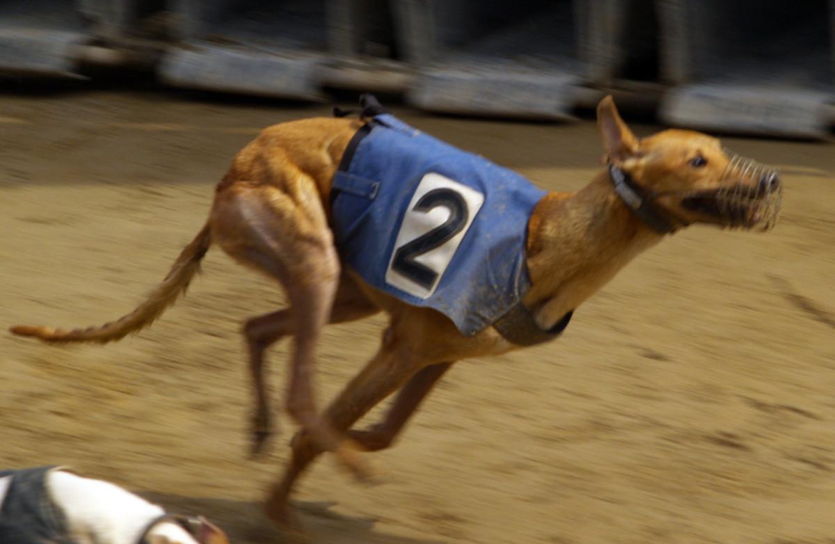 Greyhounds have hare-like feet.