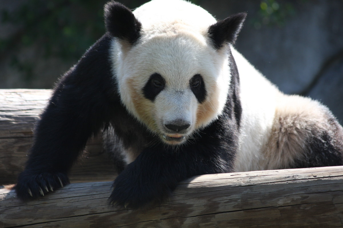 Panda Bears Make Great Name Inspirations for Black and White Dogs.