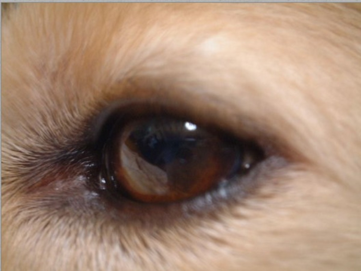 dog eyelid growth, mole on dog eyelid