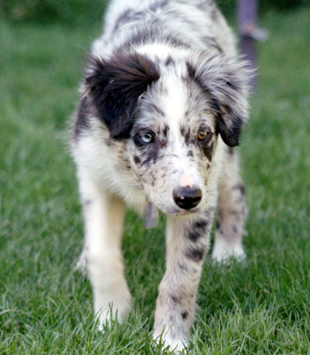 10-dog-breeds-that-can-have-a-merle-coat