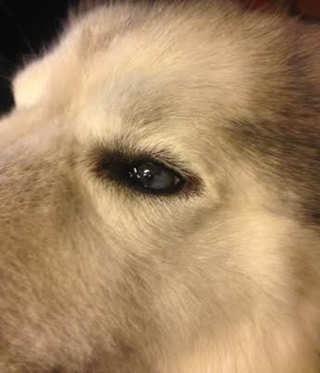 Sam's left eye and has the corneal defect with out the lacrimal gland covering the eye.