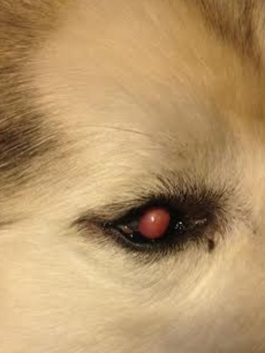 Sam's right eye and has the corneal defect under the lacrimal gland (cherry eye)