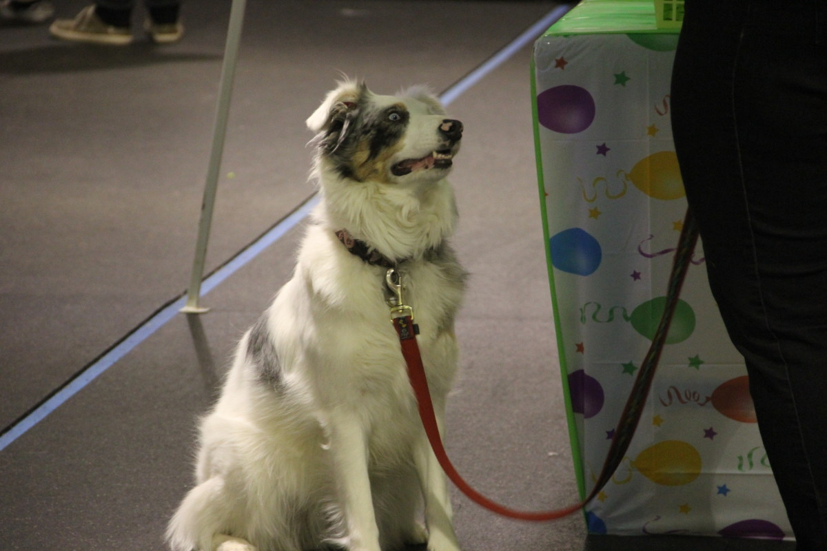 This is a blind and deaf dog at an event last year wearing a leash.