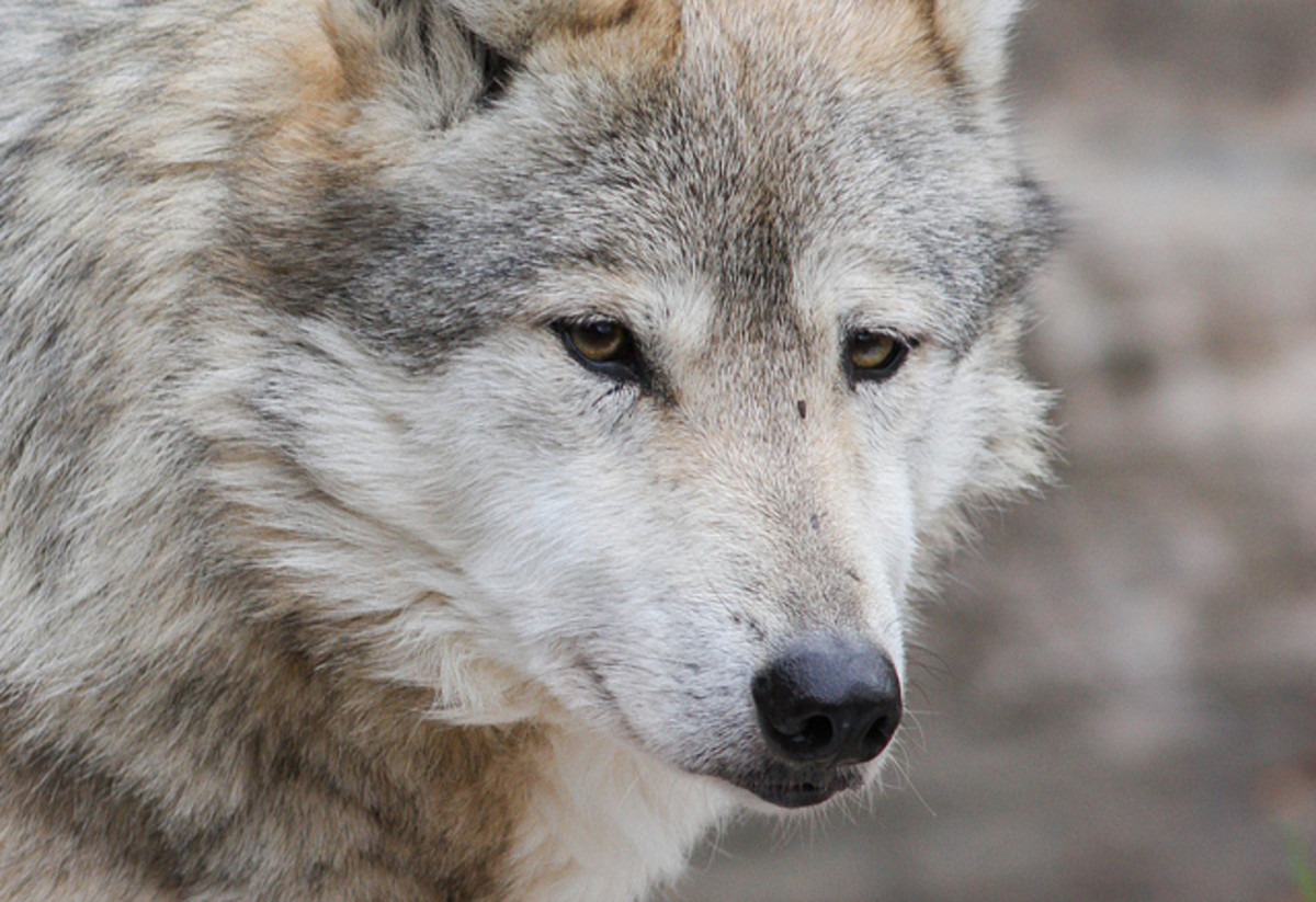 10 Dog Breeds That Look Like Wolves Pethelpful