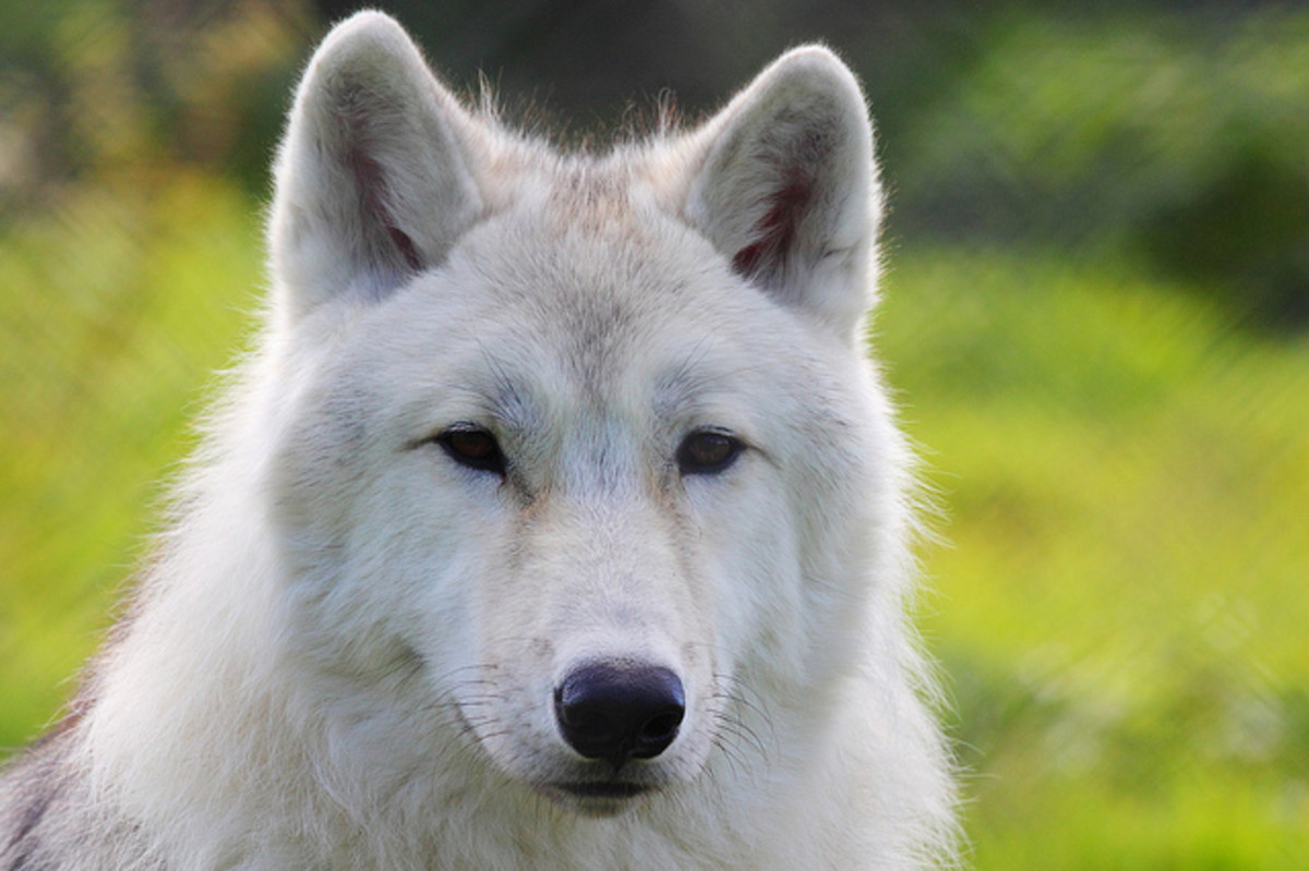 10-dogs-that-look-like-wolves