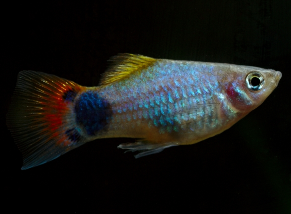A male Mickey Mouse Platy. You can tell the sex of these fish easily, as the female has a rounded fin on her belly (known as the anal fin), whilst the male's is pointed.