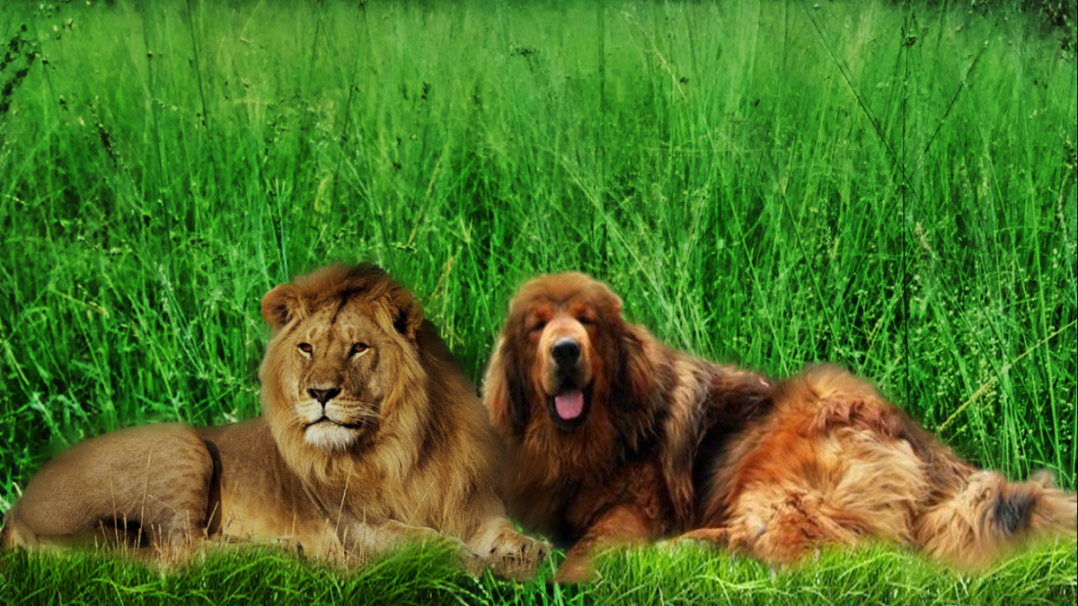 Nepali mountain dog versus a lion.