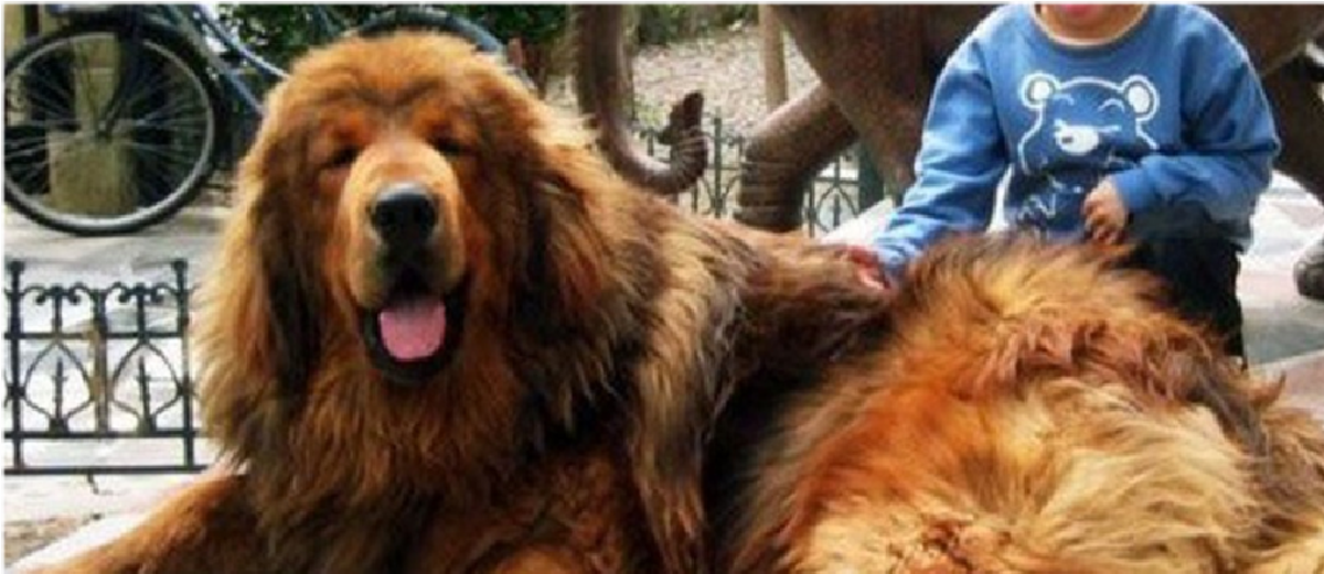 Brown Nepali mountain dog.