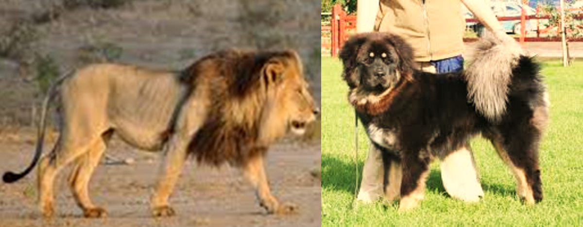 Bangar mastiff next to a lion.