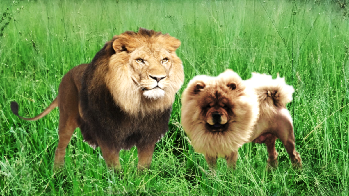 Chow chow and a lion.