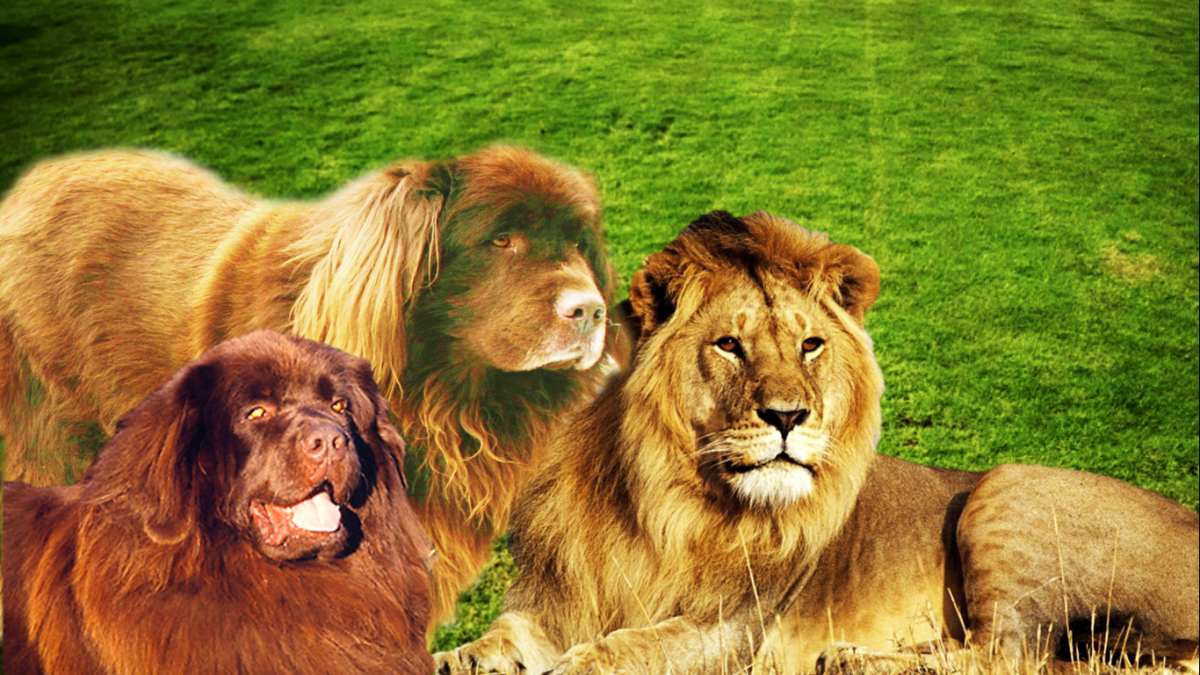 Tan Newfoundland dog and lion.