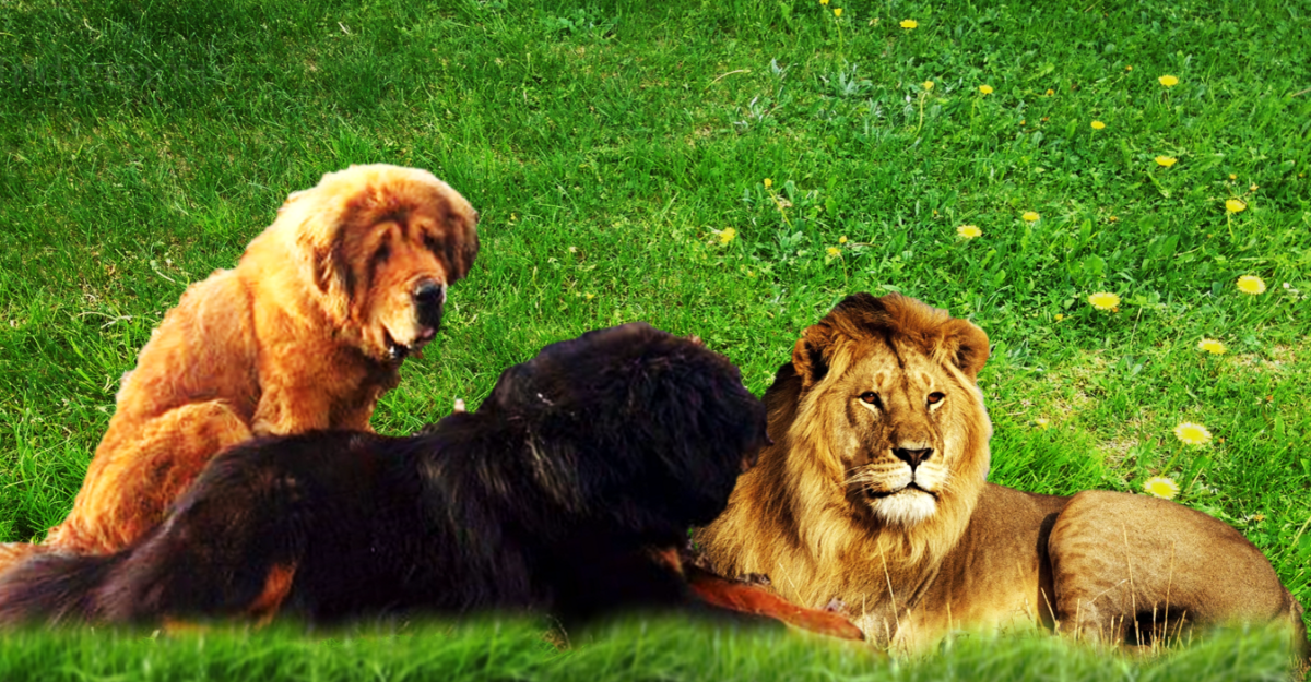 Indigenous mastiff vs. lion.