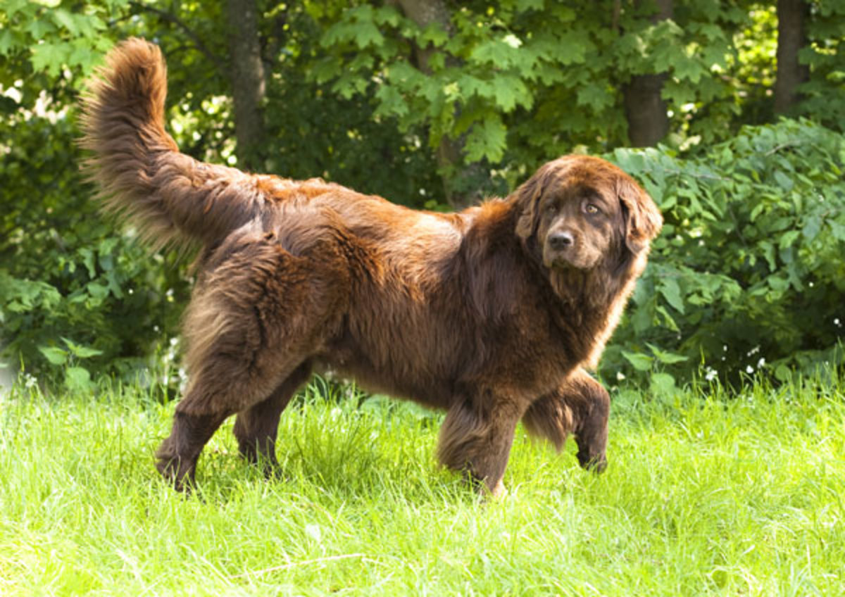 Brown Newfie.
