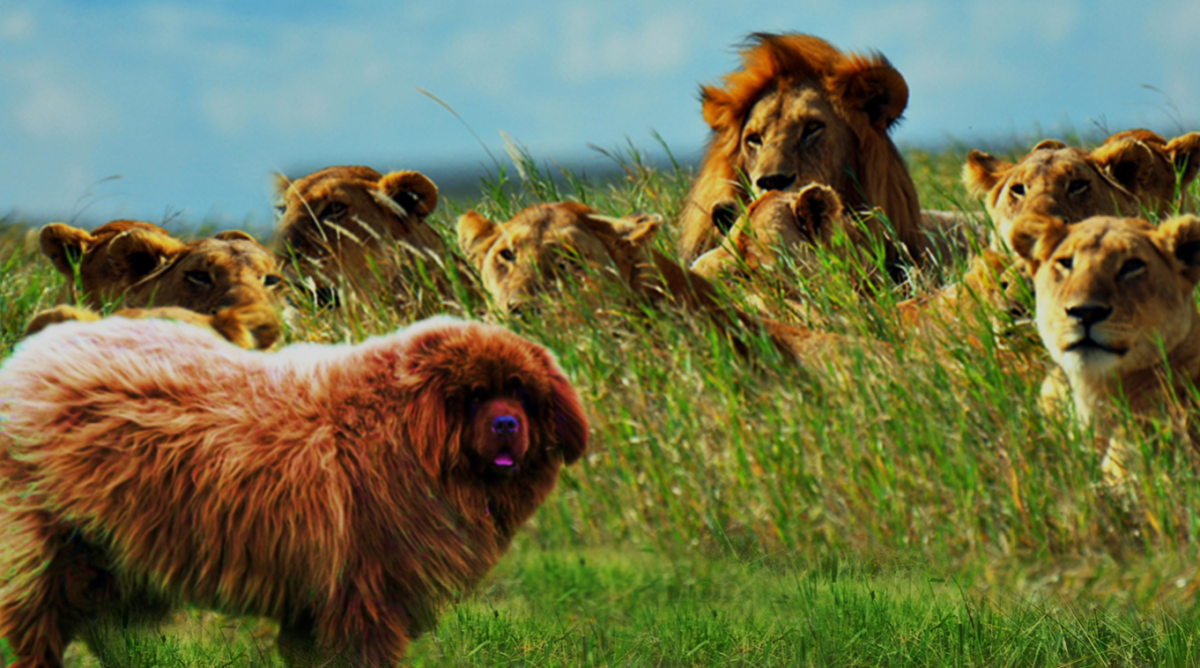 Newfie and lions.