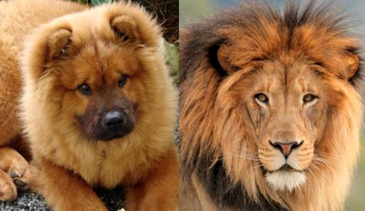 Chow Chow Dog and Lion