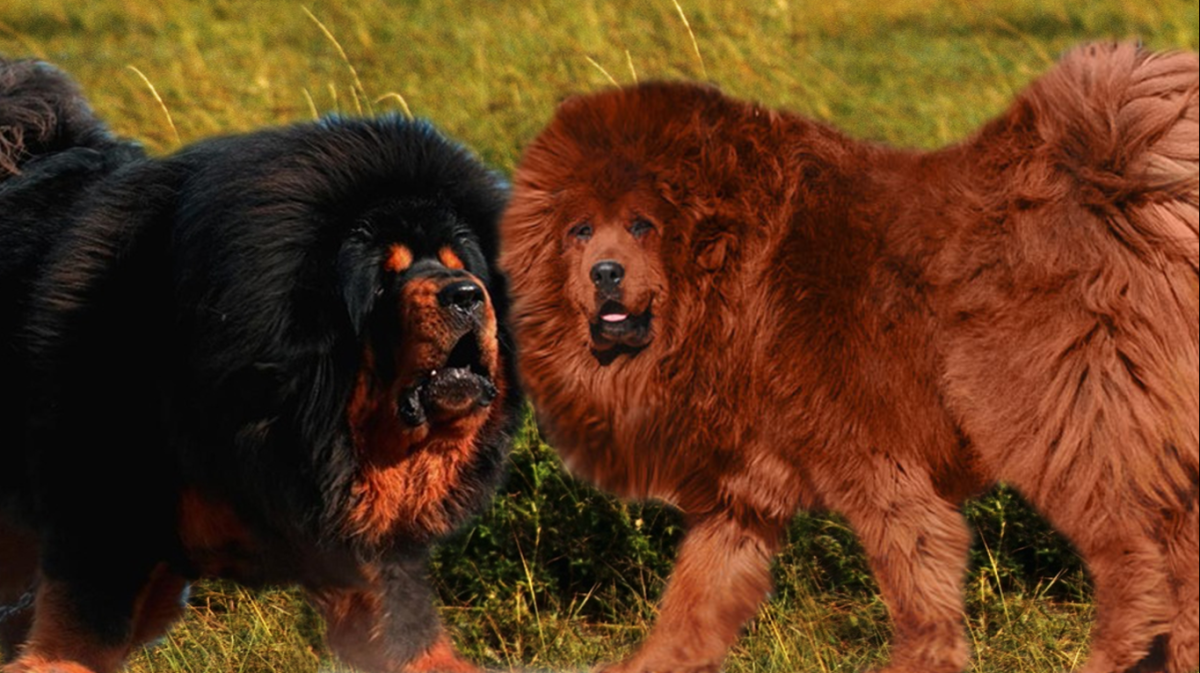 Tibetan mastiffs in brown and black.