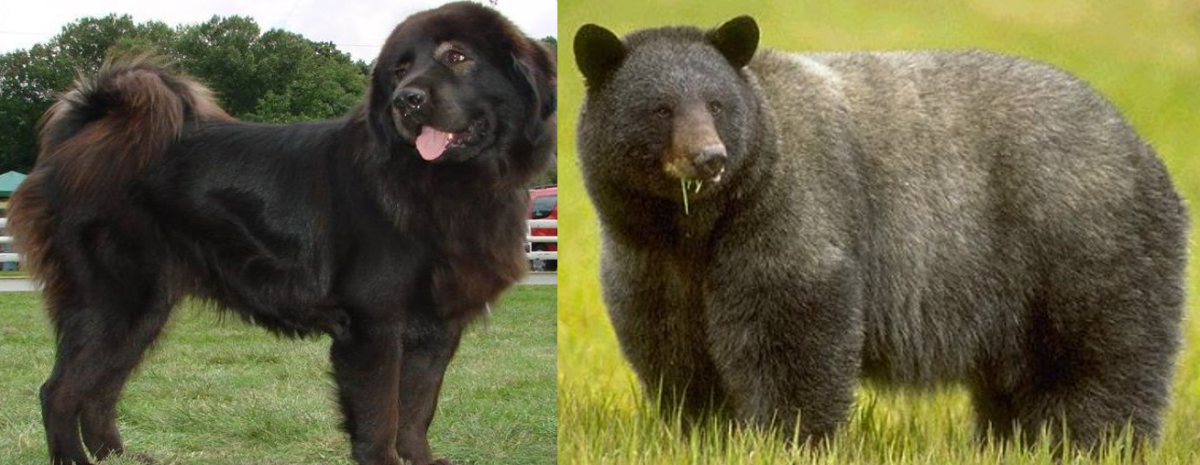 Gaddi Dog vs Bear