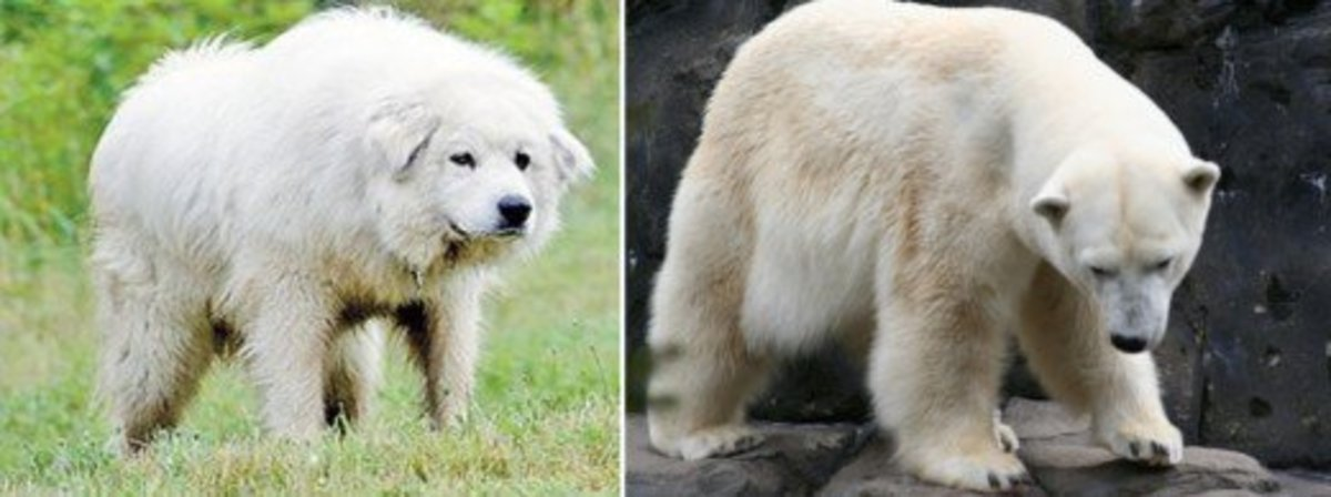 Great Pyrenees vs. Polar Bear