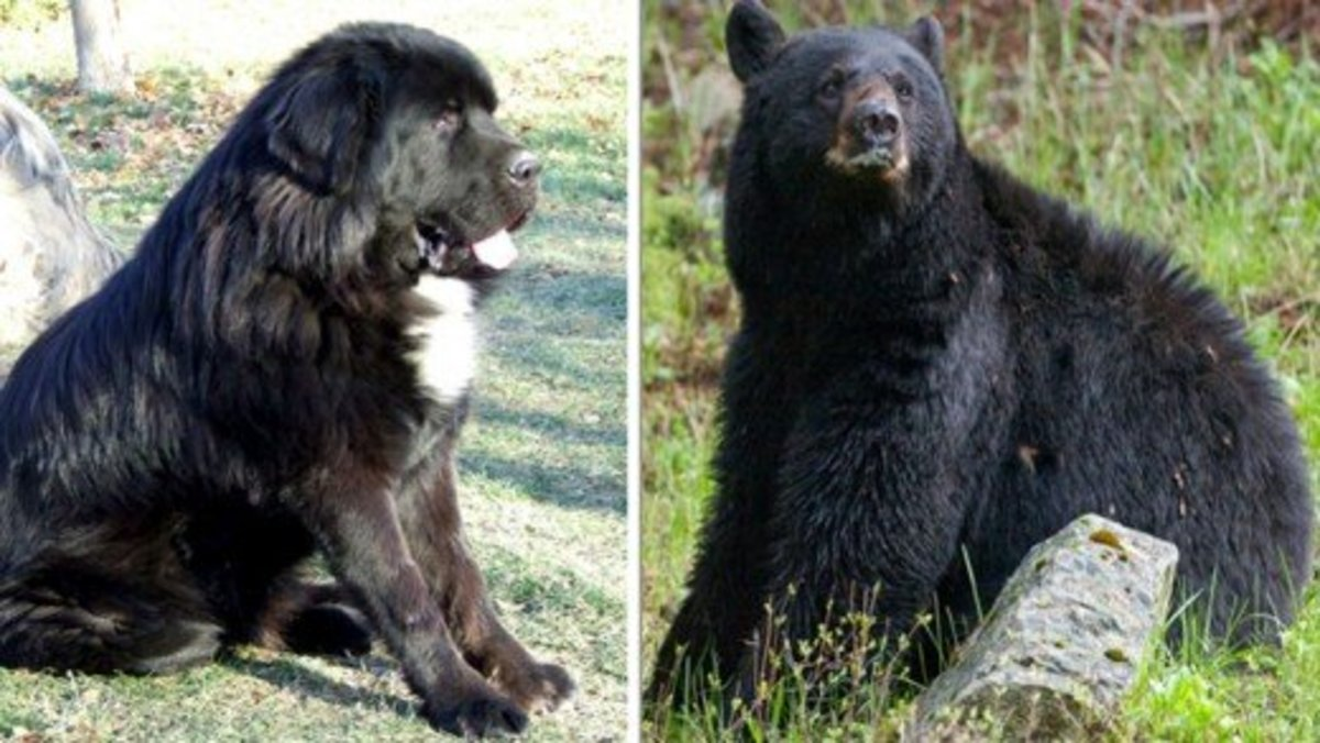 Tibetan Mastiff Vs Bear