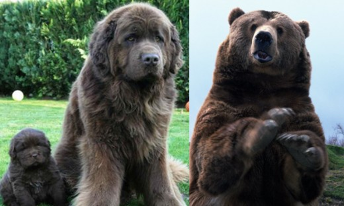 Newfoundland Dog Vs Bear