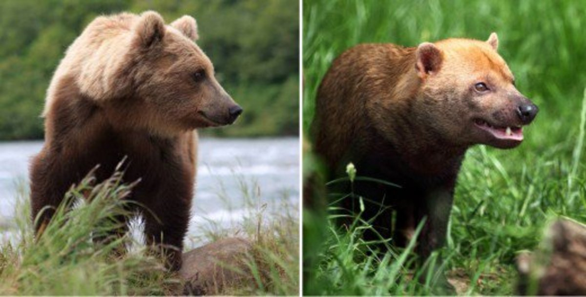 Bush Dog Vs Bear