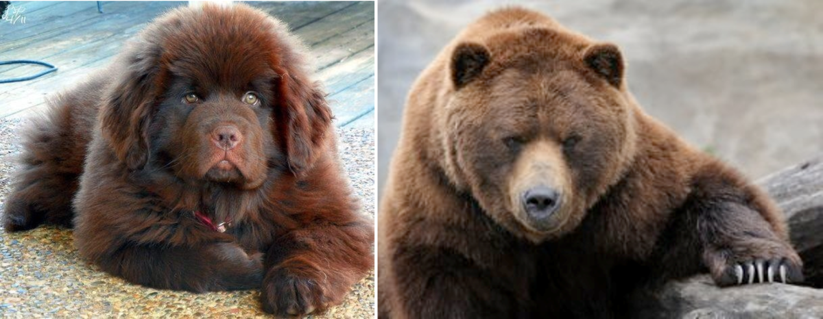 7 dogs that look like bears pethelpful