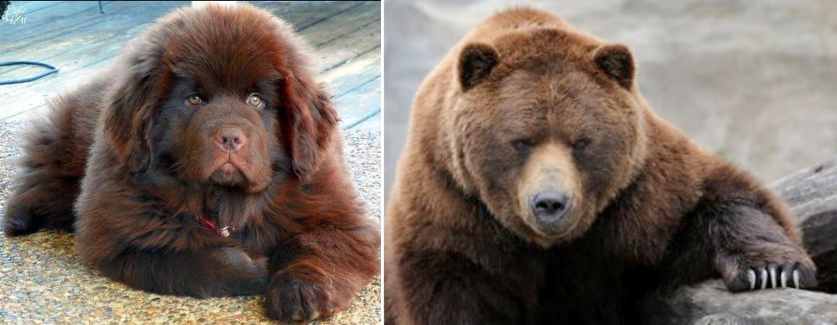 7 Dogs That Look Like Bears | PetHelpful