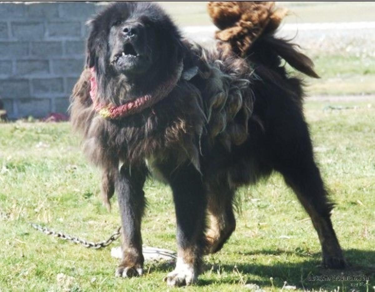 Gaddi Dog