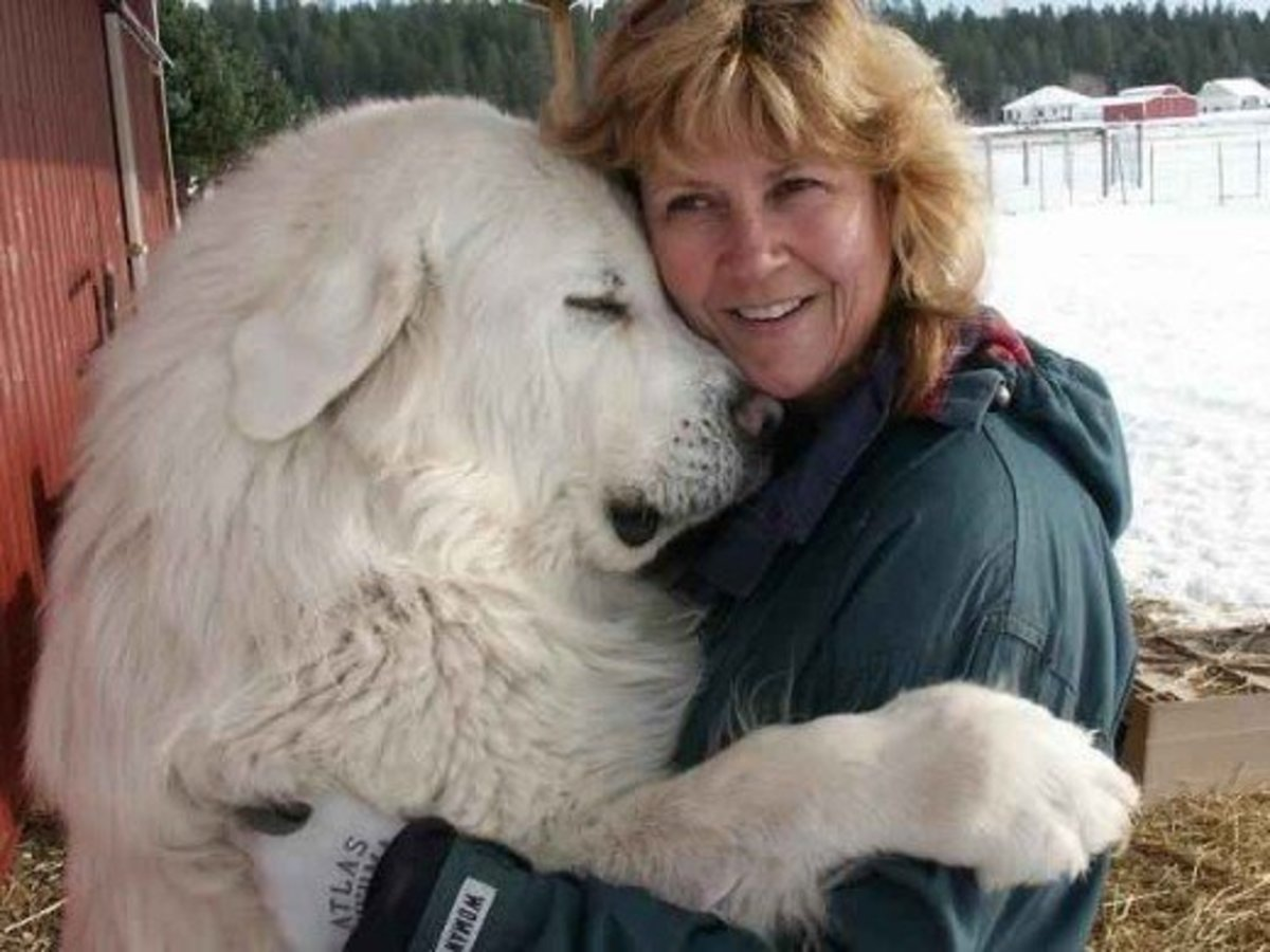 The Great Pyrenees Mountain Dog
